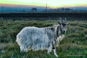 Goat | www.myfoododyssey.com