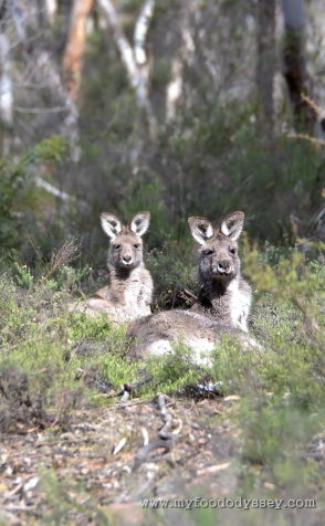Kangaroos resting at Chesleigh Homestead in Sofala, Australia | www.myfoododyssey.com