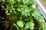 Coriander (Cilantro) Plant | www.myfoododyssey.com