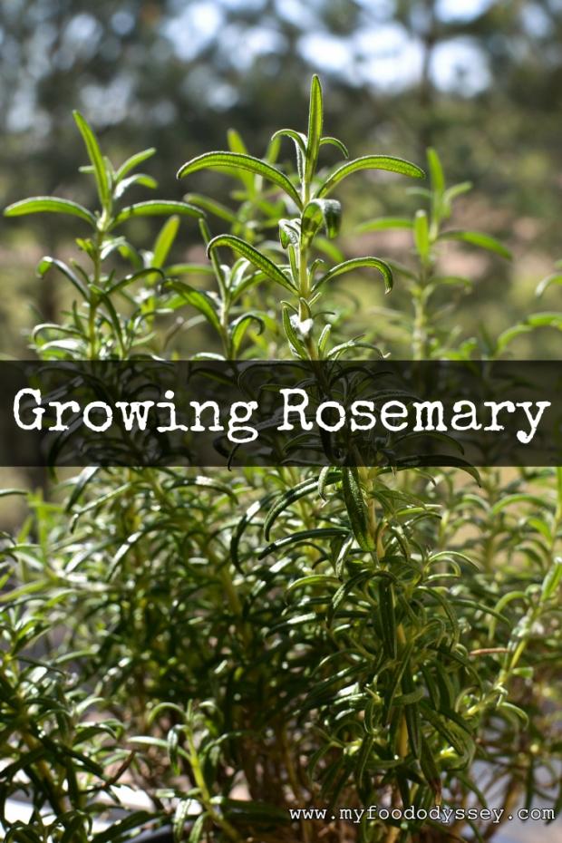 Rosemary Plant | www.myfoododyssey.com