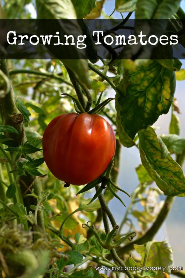 Tomato Plant | www.myfoododyssey.com