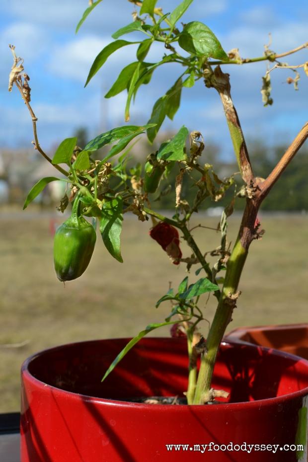 Chilli Plant | www.myfoododyssey,com