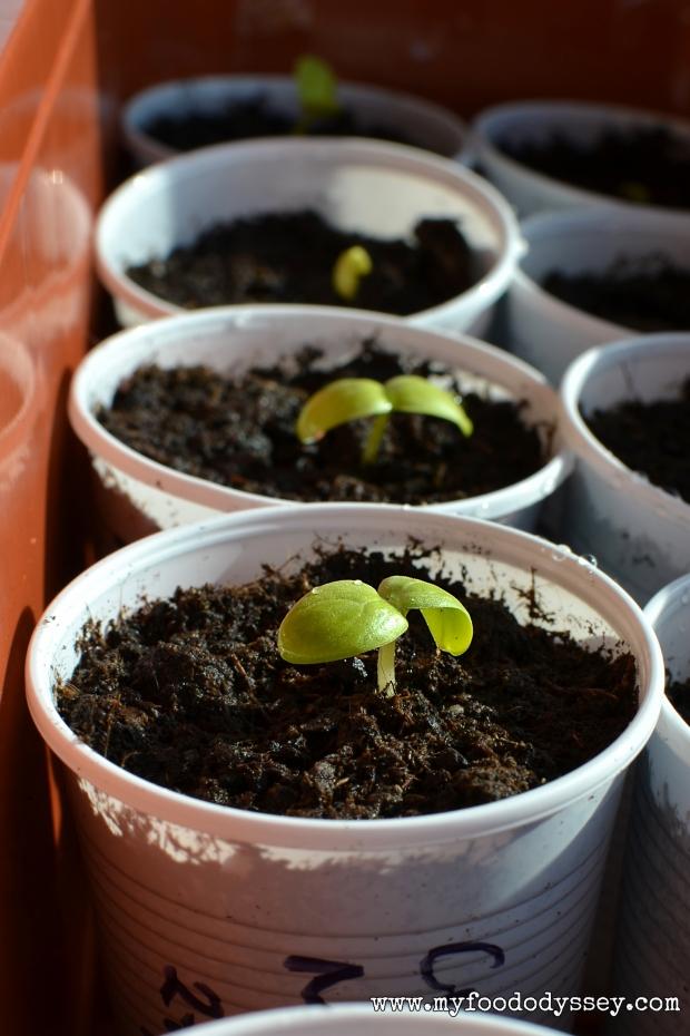Cucumber Seedlings | www.myfoododyssey,com
