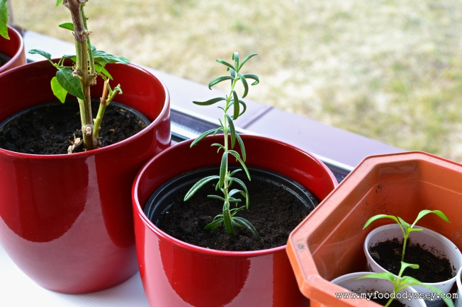Growing Rosemary from a Cutting | www.myfoododyssey.com