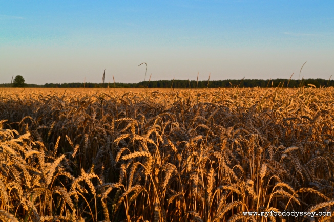 Wheat Fields, Lithuania | www.myfoododyssey.com