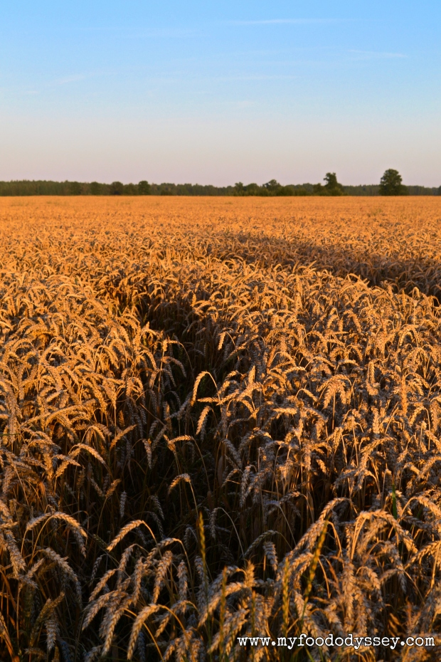 Wheat Fields, Lithuania | www.myfoododyssey.com