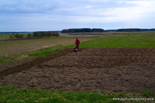 Rotovating Vegetable Plot | www.myfoododyssey.com