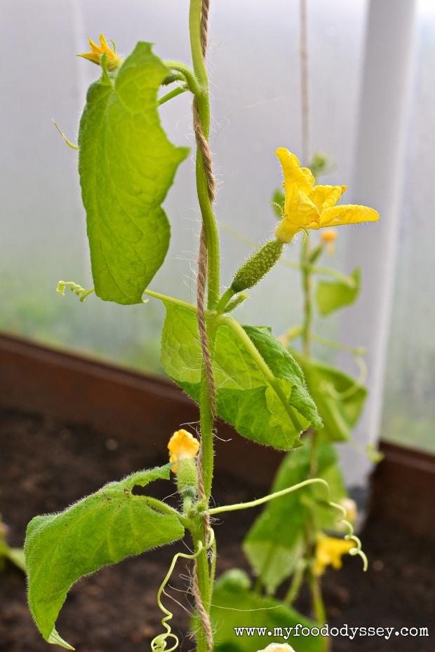 Young Cucumber Plant | www.myfoododyssey.com