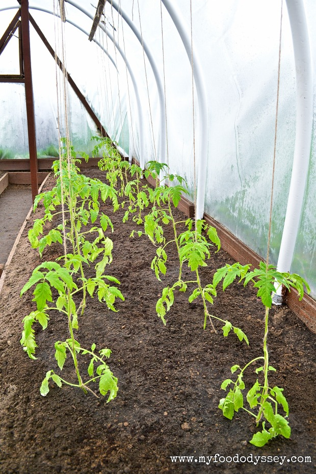 Young Tomato Plants | www.myfoododyssey.com