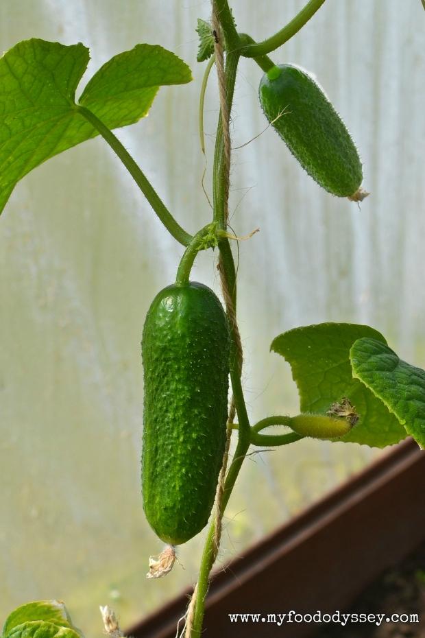 Cucumber Plant | www.myfoododyssey.com