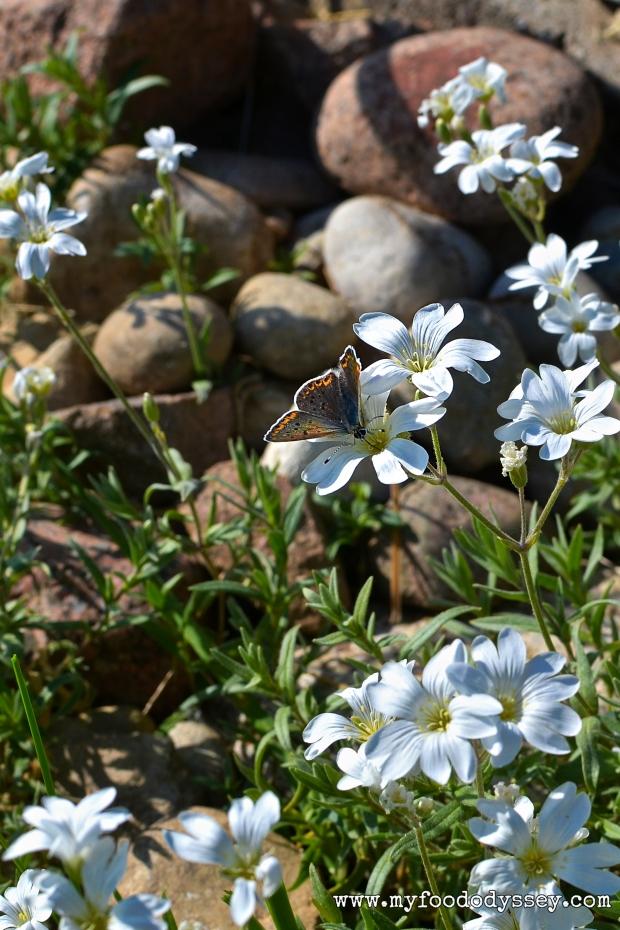 Wildflowers in my garden, Lithuania | www.myfoododyssey.com