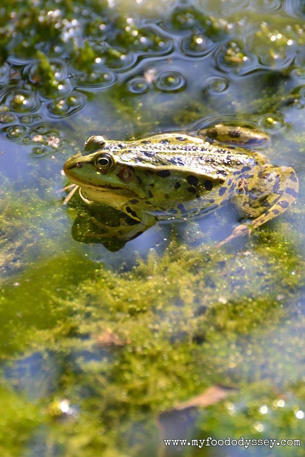 Frog in Water | www.myfoododyssey.com