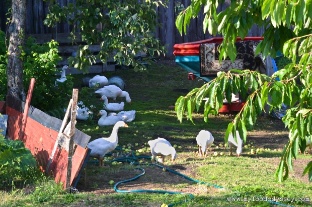 Geese in Orchard | www.myfoododyssey.com