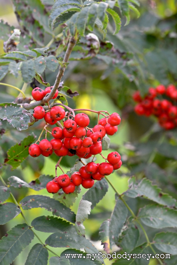 Rowan / Mountain Ash Berries | www.myfoododyssey.com