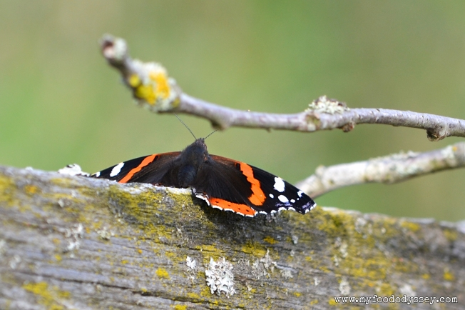 Red Admiral Butterfly | www.myfoododyssey.com