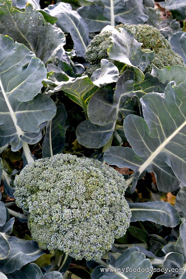 Broccoli Plants | www.myfoododyssey.com