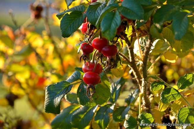 Rose Hips in Autumn | www.myfoododyssey.com