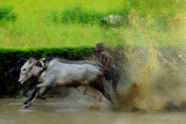 Cattle Racing at Palakkad (Kerala, India) | www.myfoododyssey.com via www.keralatourism.org