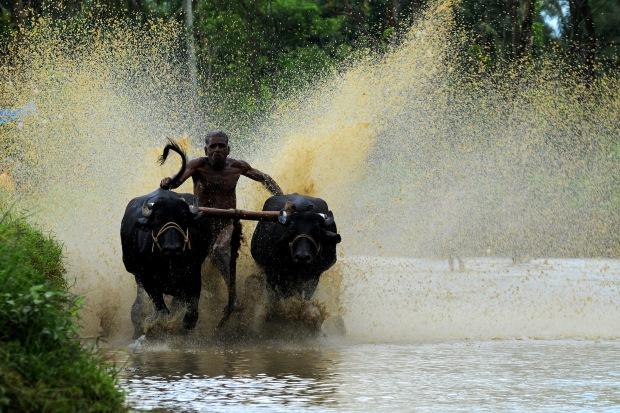 Cattle Racing at Palakkad (Kerala, India) | www.myfoododyssey.com via www.keralatourism.org