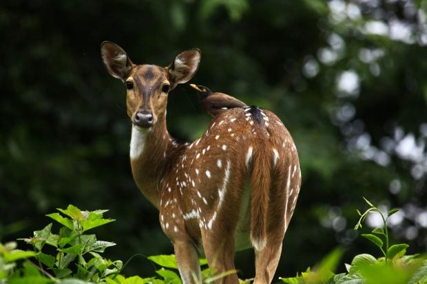 Deer at Parambikulam Tiger Reserve, Kerala (India) | www.myfoododyssey.com via www.keralatourism.org