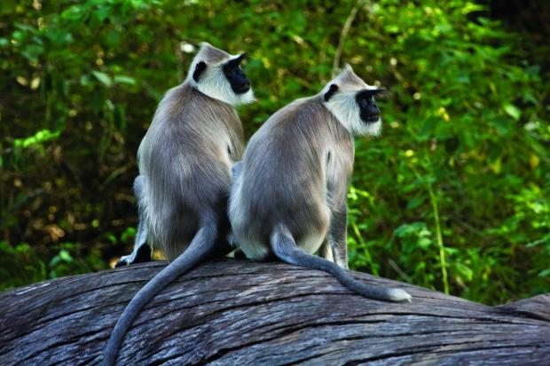 Monkeys at Chinnar Wildlife Sanctuary (Kerala, India) | www.myfoododyssey.com via www.keralatourism.org