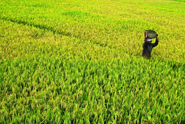 Rice Paddy Field, Kerala (India) | www.myfoododyssey.com via www.keralatourism.org