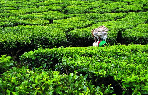 Collecting Tea, Kerala, India | www.myfoododyssey.com via www.keralatourism.org