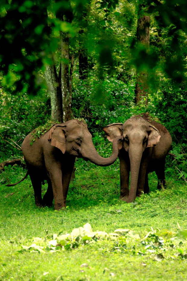 Elephants at Tholpetty Sanctuary (Kerala, India) | www.myfoododyssey.com via www.keralatourism.org