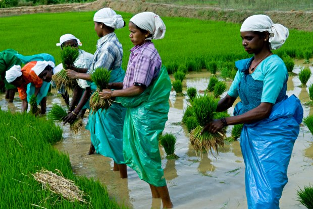 Planting Rice, Kerala (India) | www.myfoododyssey.com via www.keralatourism.org