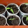 Tomato Seedlings | www.myfoododyssey.com