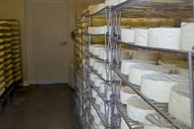 Cambert Cheese Ripening | www.myfoododyssey.com