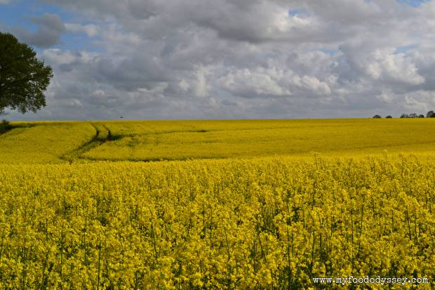 Field of Rapeseed, France | www.myfoododyssey.com