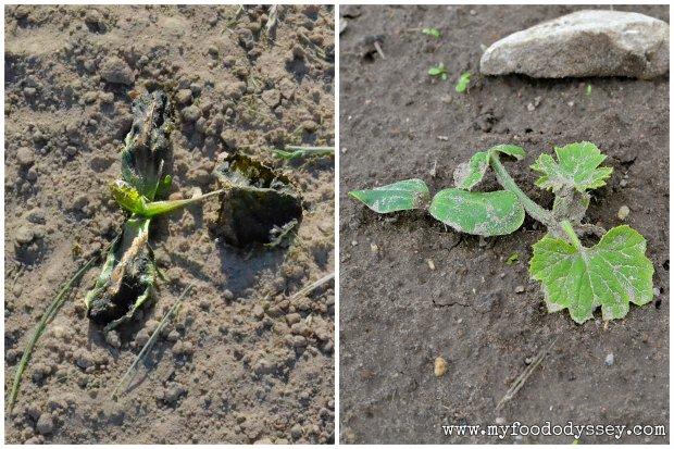 Zucchini Seedlings | www.myfoododyssey.com