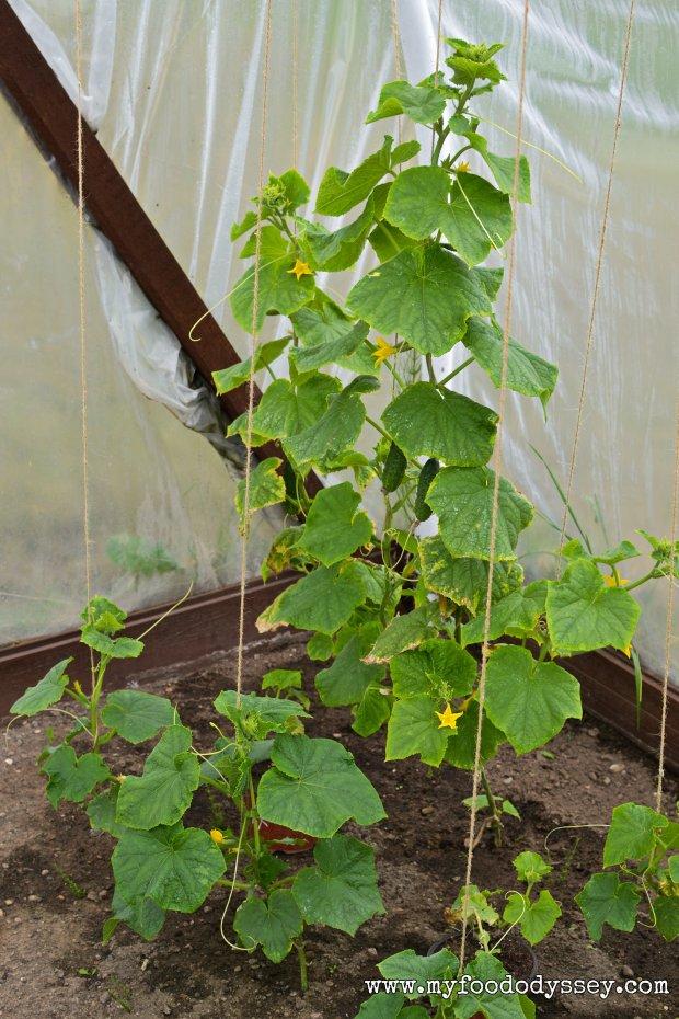 Cucumber Plants | www.myfoododyssey.com