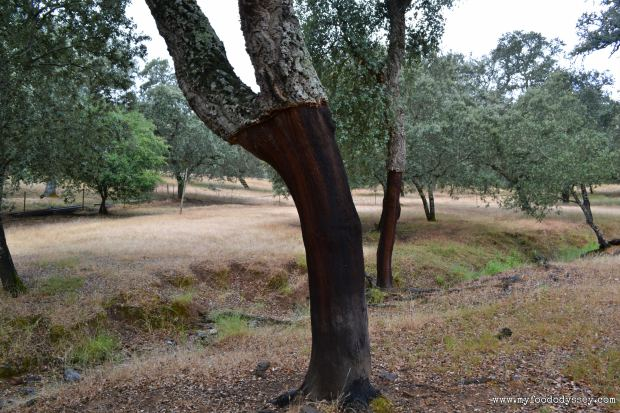 Acorn Tree, Spanish Dehesa | www.myfoododyssey.com