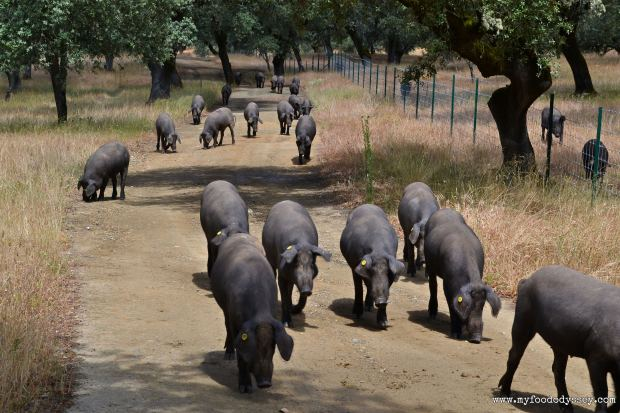 Iberico Pig Farm | www.myfoododyssey.com