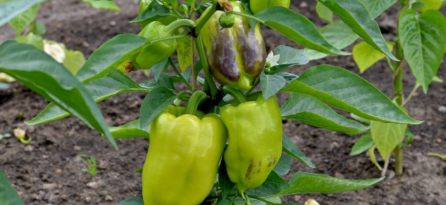 Sweet Pepper Plant | www.myfoododyssey.com