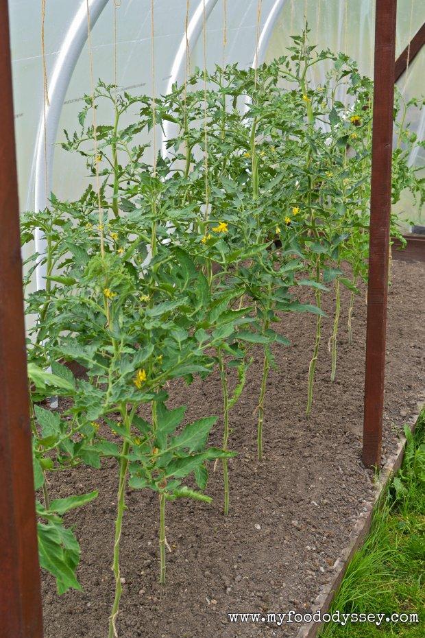 Tomato Plants | www.myfoododyssey.com