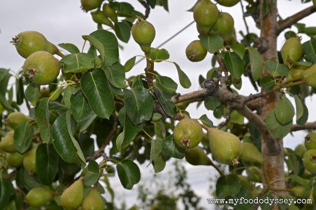 Pear Tree | www.myfoododyssey,com