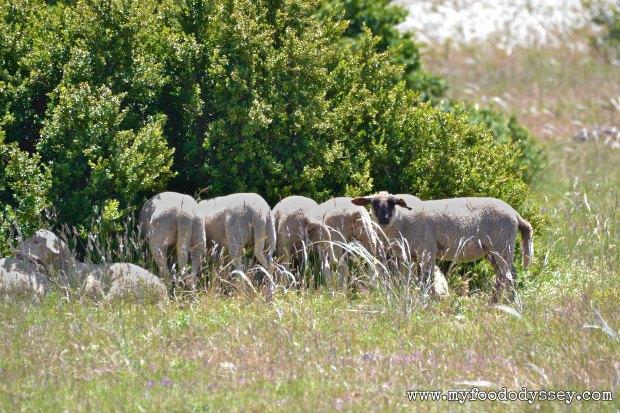Roquefort Sheep | www.myfoododyssey,com