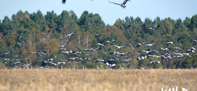 Flock of Cranes | www.myfoododyssey.com