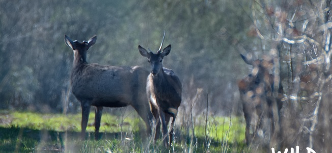 Red Deer Stags | www.guardianofgiria.com